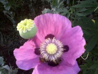 Opium poppy and marijuana