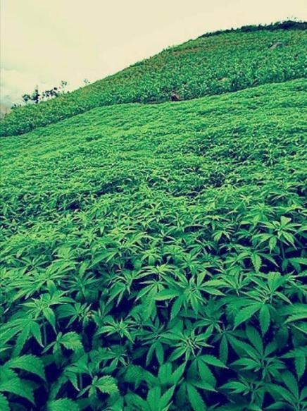 Marijuana plantation on a mountain range