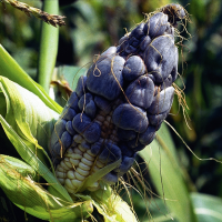 Huitlacoche - Corn smut