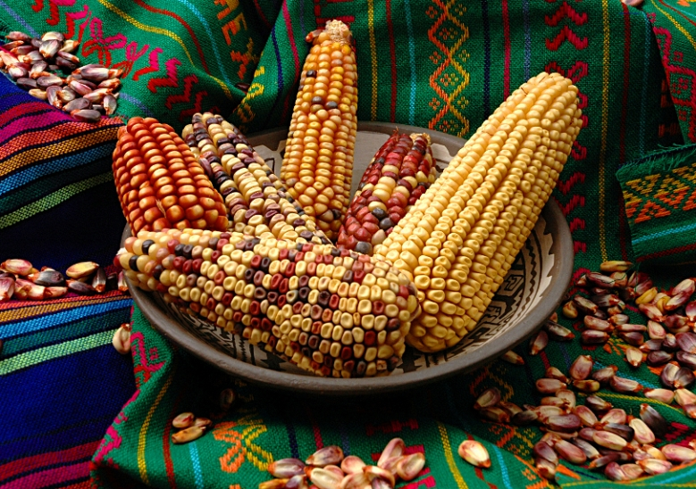"Maize ears and seed of the Mexican landrace ""Conico Norteño""."
