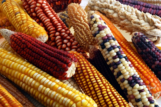 Mexican maize ears collection
